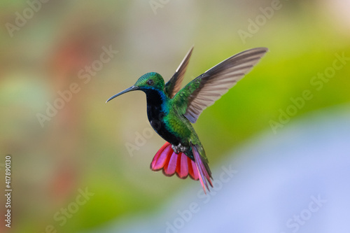 Fototapeta premium A Black-throated Mango hummingbird (Anthracothorax nigricollis) hovering with his tail spread and smooth background. wildlife in nature. Bird in flight. Hummingbird in garden
