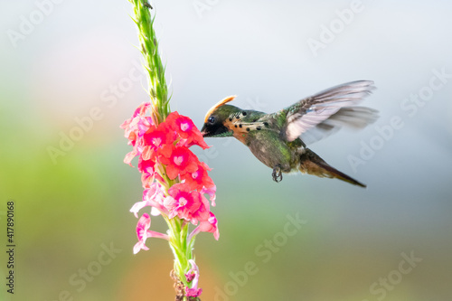 Fototapeta premium A vibrant photo of a male Tufted Coquette Hummingbird (Lophornis ornatus) feeding on a pink Vervain flower with a light background. wildlife in nature. Bird in flight.