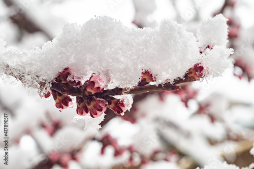 Fotografering Blossoming apricot branches covered in snow