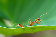 Close-up Of Two Ants On A Leaf, Indonesia