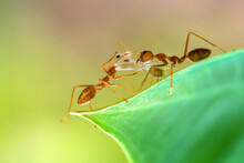 Close-up Of Two Ants Carrying A Dead Insect, Indonesia