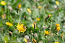 Large Flower Field. A Bee Sits On A Yellow Flower. Pollination Of Flowers. Honey Pasture. Kulbaba Autumn