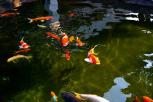 Colorful Fancy Carp Fish In The Pond.