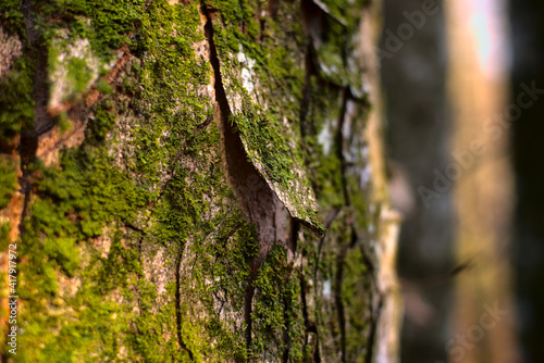 Beautiful spring forest with sunlight . Green moss on the tree . Scenic background.