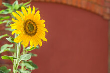 Sunflower, Yellow Flower Background, UK