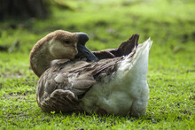 A Sleeping Swan Goose With Its Beak Inserted Into Brown And White Feathers, Sitting On Green Grass Surrounded By Trees.