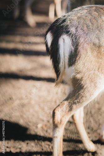 Fototapeta premium roe deer tail close up