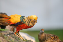 Closeup Golden Pheasant  Male And Female