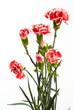 Beautiful pink carnations flower