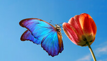Bright Colorful Blue Morpho Butterfly On A Tulip Flower Against The Blue Sky.