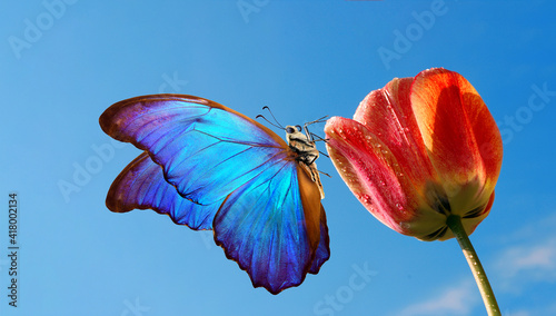 Obraz na plátne bright colorful blue morpho butterfly on a tulip flower against the blue sky