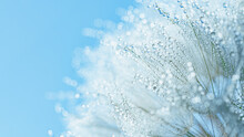 Abstract Macro Photo Dandelion Flower Seeds With Water Drops Background. Closeup With Soft Focus For Desktop. Pastel Blue Tones. Print For Wallpaper. Floral Fantasy Design. Beautiful Nature.