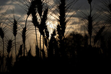Wheat Field Silhouette At Sunset