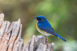 Little blue bird Chinese Blue Flycatcher (Cyornis glaucicomans) in the rainforest.