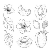 Apricot Fruits. Hand Drawn Linear Set With Fruit, Branch, Flower, Kernel And Slice. Vector Illustration. Outline Image Isolated On White Background.
