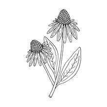 Echinacea Purpurea Herb. Purple Flowers And Leaves. Aurvedic And Medical  Immunostimulant Plant. Hand Drawn Vector Sketch Illustration Isolated On White Background.