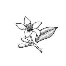 Citrus Flowers Branch. Neroli Flowers Bouquet. Drawing Ink Sketch. Hand Drawn Vector Illustration In Vintage Style.
