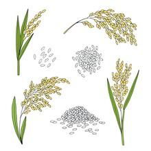 Rice. Cereal Ears, Grain. Hand Drawn Vector Sketch Illustration.