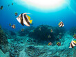 School of Pennant coralfish (Longfin bannerfish) (Rangiroa, Tuamotu Islands, French Polynesia in 2012)