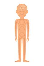 Nervous System. Vector Illustration Isolated On White Background