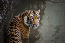 Portrait Of A Sumatran Tiger Standing In Water, Indonesia