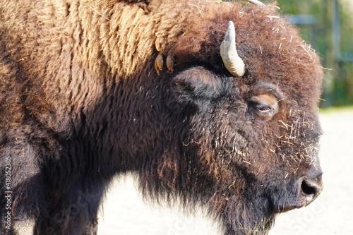 Fototapety, obrazy: american bison buffalo