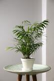 Beautiful Ravenea rivularis plant in pot on table indoors. House decor