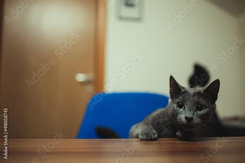 Slika na platnu Portrait of a cat indoors