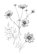 Set Of Flowers Of Cosmea (Cosmos Bipinnatus, Mexican Aster, Garden Cosmos). Black And White Outline Illustration, Hand Drawn. Isolated On White Background.