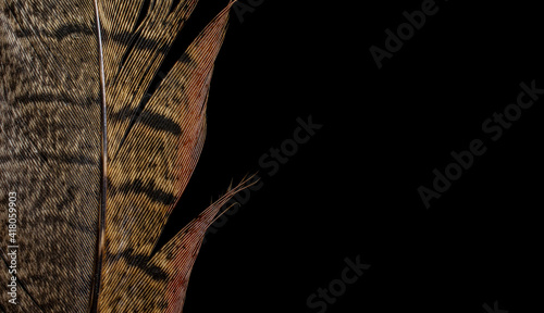 Obraz na płótnie pheasant feather on black isolated background