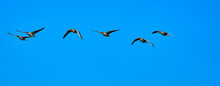 Gray Geese, Anser Anser, Isolated Against Bright Blue Sky In Formation Flight.