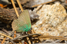 Selective Focus Shot Of A Green Hairstreak Also Known As Callophrys Rubi, A Small Green Butterfly