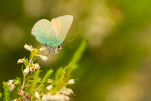 Selective Focus Shot Of A Green Hairstreak (Callophrys Rubi)