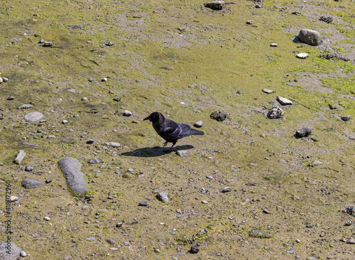 Fototapeta premium Selective focus shot of a raven