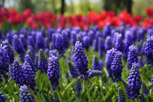 Group Of Blue Grape Hyacinths And Green Leaves In Spring