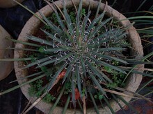 Twin Flowered Agave (Agave Geminiflora) In A Garden