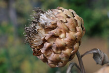 Dried Globe Artichoke Or Cardoon, Cynara Cardunculus, Seed Head In Winter Close-up