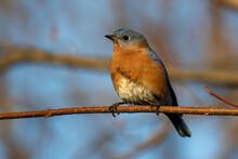 Eastern Bluebird (Sialia Sialis) Perching On A Branch.