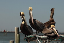 Four Brown Pelicans (Pelecanus Occidentalis) Sitting On Boat Canopy Hoping For A Handout From Fisherman; Along Texas Gulf Coast