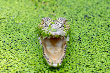 Close-up Of A Crocodile With An Open Mouth Amongst Duckweed In A River, Indonesia