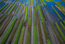 Aerial View Of Traditional Floating Vegetables Garden Along The Creek In A Plantation Field In Nazipur, Barisal, Bangladesh.