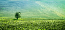 Sunshine View Of Lonely Tree Among Slopes Of Green Fields