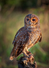 Spotted Wood Owl On A Tree Stump, Indonesia