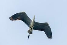 Grey Heron Flight (ardea Herodias) Grey Headed Heron Flying Blue Sky