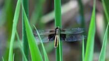 Widow Skimmer Dragonfly  Female Libellula Luctuosa Adult E USA
