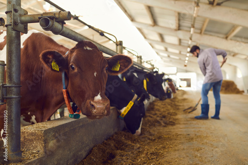 Young man works hard on a dairy farm throwing hay to cows standing in a row in the stable Fototapet