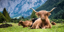 Scottish Breed Of Rustic Shaggy Cattle Also Famous As Highland Cattle Lying On The Green Grass On The Wide Meadow In The Logar Valley, Slovenia.