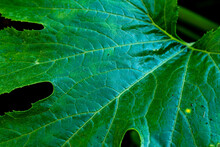 Close Up Of A Giant Greeen Leaf