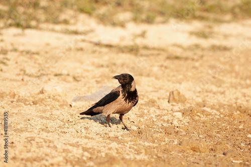 Fototapeta premium Grey crow on the riverbank. Corvus cornix
