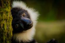 Close Up Of A Lemur
